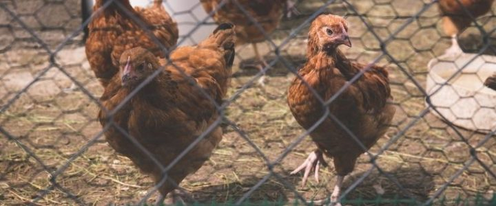 How to Choose the Right Chicken Coop Building Plans